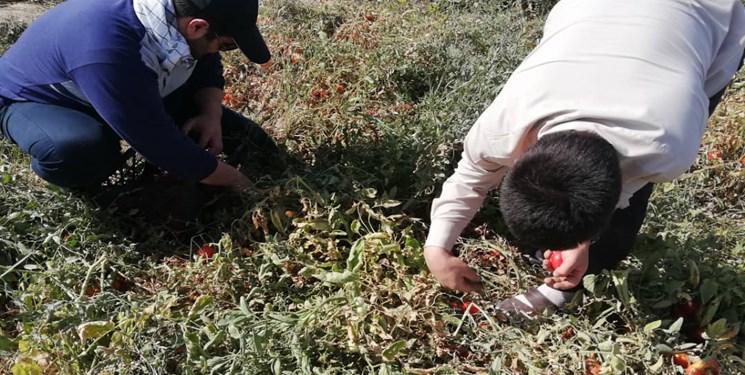 جهادیها به یاری کشاورزان حمیدیهای شتافتند/گوجههایی که بر زمین نماند