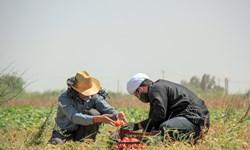فیلم|جهادیها به یاری کشاورزان حمیدیهشتافتند