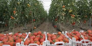 پیشبینی تولید ۵۰ هزار تن گوجهفرنگی در قیروکارزین