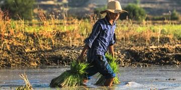 کشت برنج در دشت سوسن