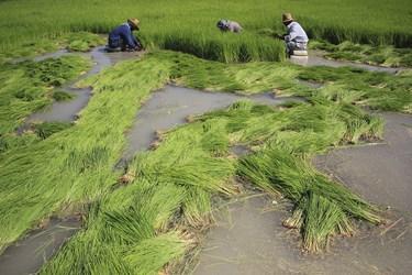فصل کشت در روستاهای بخش سوسن از اواخر خردادماه آغاز و تا اواسط تیرماه ادامه دارد.
