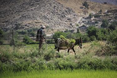 انتقال شالی ها به محل نشاء کاری / دشت سوسن  خوزستان