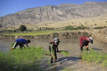 نشا(تیم) را بصورت دستهای به زمینهایی که از قبل شخم زده و یکدست شده است برده میشود تا نشا کاری انجام شود.