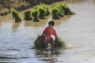 همه افراد خانواده دشت سوسنی ها، مثل شالیکاران شمال ایران در نشاءکاری مشارکت دارند.
