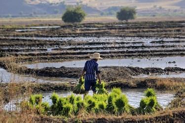 انتقال شالیها به خزانه. خزانه قسمتی از زمین کشاورزی است که کشاورز پس از شخم زدن آن قسمت از زمین ، بذرهای جوانه دار شده را درون آن می کارد تا تبدیل به نشا  شود.