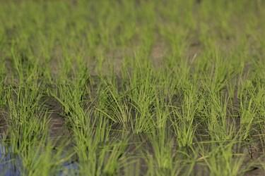 نوع برنج كشت شده در بخش سوسن شهرستان ایذه