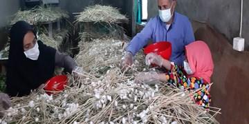پرورش کرم ابریشم توسط یک خانواده روستایی در سیرجان