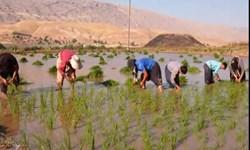 فیلم   در کمین نابودی «عنبر بو» به بهانه نبود آب/ کاشت یکی از مرغوبترین برنجهای کشور در ایلام