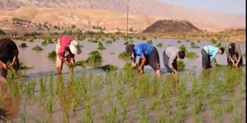 فیلم|  در کمین نابودی «عنبر بو» به بهانه نبود آب/ کاشت یکی از مرغوبترین برنجهای کشور در ایلام
