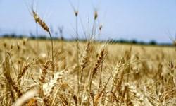 کهگیلویه و بویراحمد از استانهای موفق در خرید تضمینی گندم از کشاورزان
