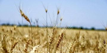کردستان رتبه اول کشوری تولید گندم دیم دارد/تولید 2 میلیون تن عسل در کردستان