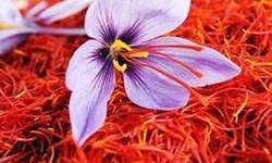 طرح محققان کشور برای جلوگیری از خام فروشی زعفران
