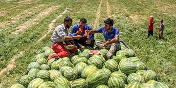 برداشت هندوانه در باغملک
