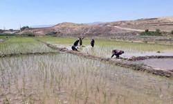 گلایه کشاورزان چرداولی از کمبود کمباین و تراکتور