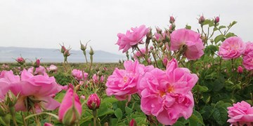 ملایر رتبه برتر تولید گل محمدی را در استان همدان دارد/  کشت محصول در ۱۵۰ هکتار