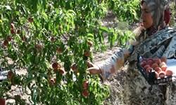 ضرر باغداران گلستانی در فصل برداشت محصولات/ جولان دلالان در بازار میوه گلستان