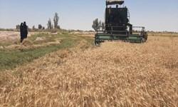 83 هزار تن کلزا تحویل مراکز خرید تضمینی گلستان شد/ پرداخت 87 درصد مطالبات کشاورزان