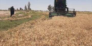 برداشت بیش ۱۲ هزار تن گندم آبی در ارسنجان