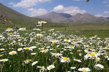 گلهای بابونه دامنه کوه سهند
