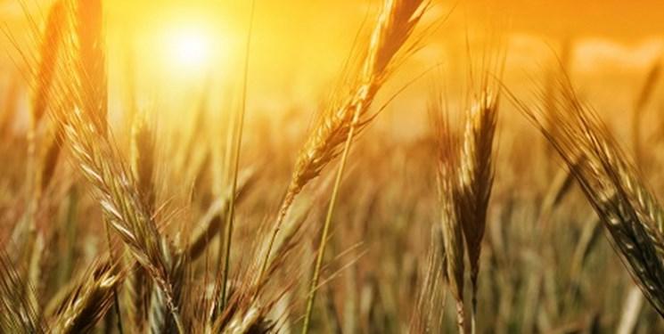 شورای اقتصاد فردا قیمت 3800 تومانی  خرید گندم را بررسی میکند