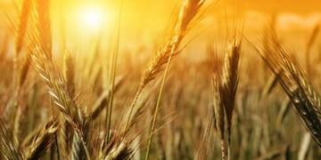 خرید ۶ میلیون و ۳۰۰ هزار تن گندم در کشور/ پرداخت مطالبات گندمکاران تا یکماه آینده