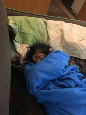 13990415000941 Test NewPhotoFree - دامپزشکی که شامپانزه در قفس را تنها نگذاشت+تصاویر و فیلم