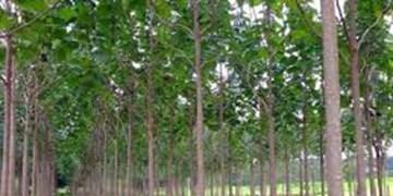 چرا کشت درخت پالونیا در آذربایجان ممنوع و غیرقانونی است