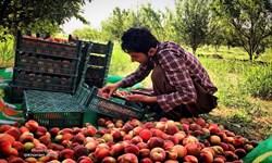 سرخط فارس| مازندران، بزرگترین تولیدکننده هلو  و شلیل کشور
