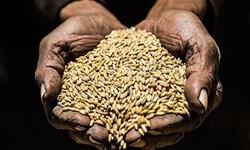 پایان برداشت گندم در زریندشت با تولید بیش از ۳۴ هزار تن محصول