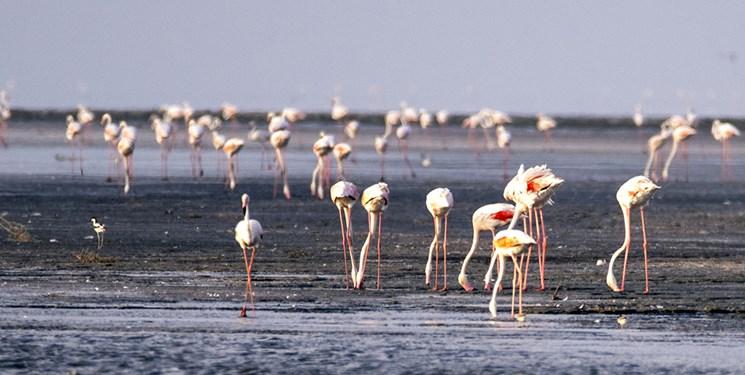 سمفونی فلامینگوها در دریاچه ارومیه