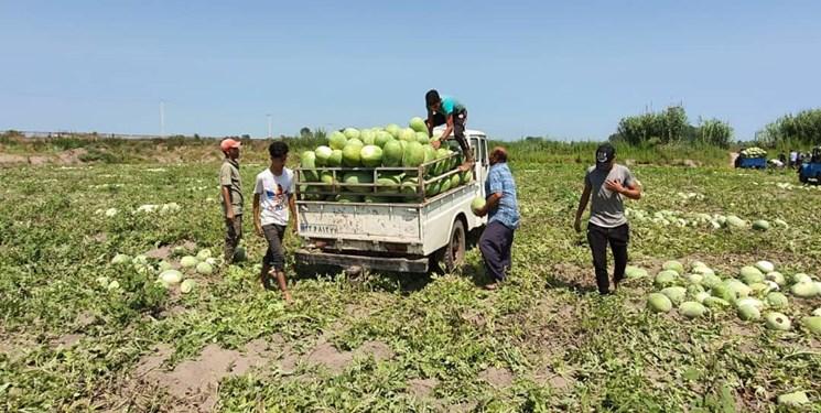 آغاز برداشت هندوانه از ۱۰۰۰ هکتار باغات چاف