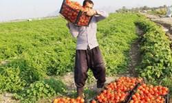 استمرار شخمزدن محصولهای به بار نشسته در گلستان؛ اینبار نوبت گوجهفرنگی است