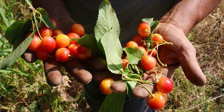 برداشت میوههای خوش آب و رنگ تابستان در چهارمحال و بختیاری