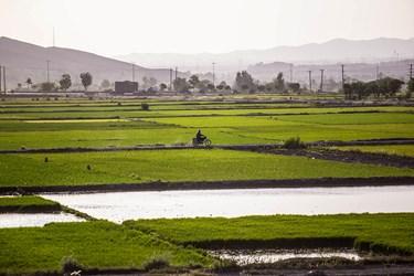 منطقه سده لنجان اصفهان به دلیل همجواری با رود خانه زاینده رود و امکان ستفاده از باعث شده زمین های  منطقه برای کشت برنج مناسب باشد.