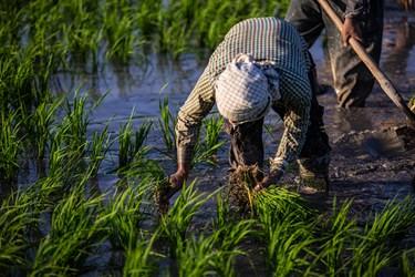 نشاء برنج در منطقه سده لنجان اصفهان به صورت سنتی  انجام می شود.
