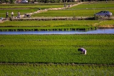 منطقه سده لنجان اصفهان به دلیل هم جواری با رود خانه زاینده رود  موجب شده زمین های  منطقه برای کشت برنج مناسب باشد.