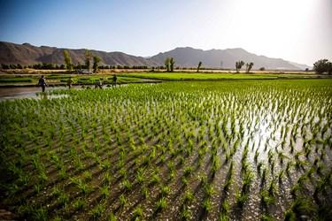 منطقه سده لنجان اصفهان به دلیل هم جواری با رودخانه زاینده رود موجب شده زمین های  منطقه برای کشت برنج مناسب باشد.