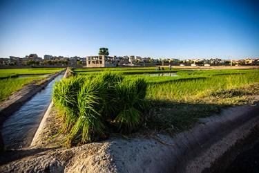 انتقال شالیها از خزانه. خزانه قسمتی از زمین کشاورزی است که کشاورز پس از شخم زدن آن قسمت از زمین ، بذرهای جوانه دار شده را درون آن می کارد تا تبدیل به نشا  شود.