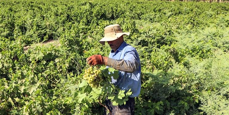 رونق خرید انگور از باغداران شاهرودی/ سرمایه شرکت کنسانتره شاهرود تأمین شد