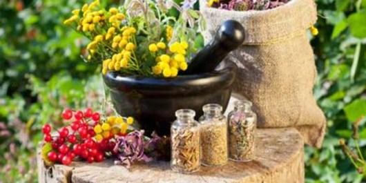 برداشت 100 تن بادرنجبویه از  باغات گیاهان دارویی شهرستان مراغه