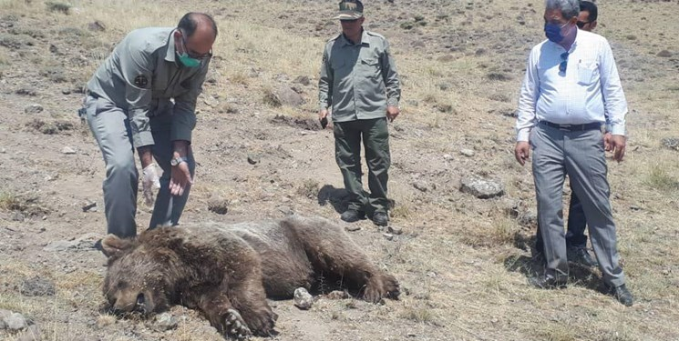 یک قلاده خرس قهوهای در روستای هفت چشمه مشگین شهر تلف شد