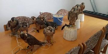 دستگیری قاچاقچیان پرندگان شکاری در شرق مازندران