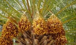 روزهای گرم خرماپزان جنوب کرمان و بازار داغ دلالان