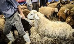 پیشبینی فعالیت 25 اکیپ دامپزشکی در عید قربان