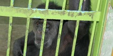 فارس من| سلولهای انفرادی برای ۸ شامپانزه در ارم+تصاویر