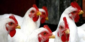 روزانه 10 تن مرغ در کرمانشاه توزیع میشود/ قیمت مرغ منجمد کاهش یافت