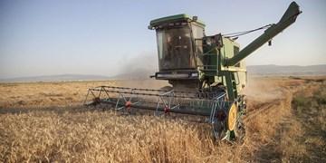 برداشت گندم از مزارع کرمانشاه