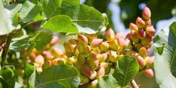 تهدید آفت سن در باغات پسته رفسنجان