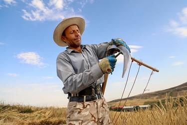 کشاورز قبل از شروع برداشت داس  را تیز می کنند.