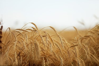 گندم  مزارع اردبیل